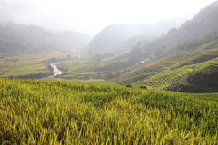 Rice Field, Vietnam Royalty Free Stock Photos