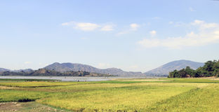 Rice field in Vietnam. Photo in Dak Lak in Vietnam, rice paddies near the river royalty free stock image