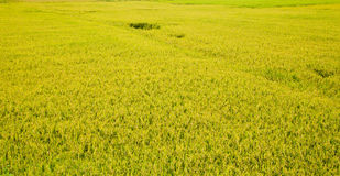 Rice field at Vietnam on summer Stock Images