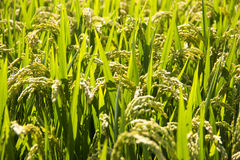 Rice field. A view of rice field Stock Photo
