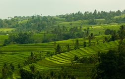 Rice field view in Jatiluwih Royalty Free Stock Images