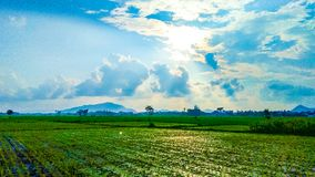 Rice field view royalty free stock photo