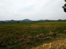 Rice field view. View of rice fields during the day stock images