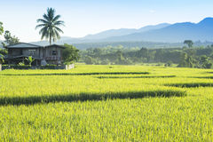 Rice field and the village Stock Photo