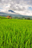 Rice field with volcano in the clouds. Bali, Indonesia. Royalty Free Stock Photography