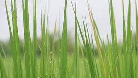 rice field and water drop stock footage