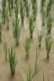 Rice Field Water Flood Paddy Seedling Royalty Free Stock Photos