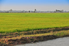Rice field on the way back from Tonele Sap Lake Royalty Free Stock Photos