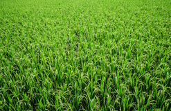 Rice In Field Stock Photo