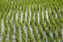 Rice field in West Bengal Royalty Free Stock Photography