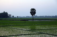 Rice field in West Bengal Royalty Free Stock Image