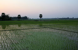 Rice field in West Bengal Stock Images