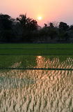 Rice field in West Bengal Stock Image