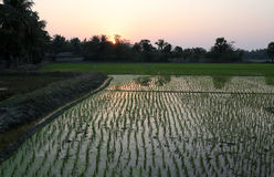 Rice field in West Bengal Stock Photography