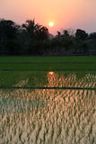Rice field in West Bengal Royalty Free Stock Photos