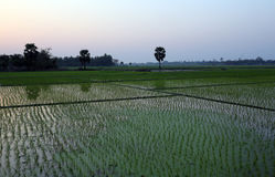 Rice field in West Bengal Stock Photos