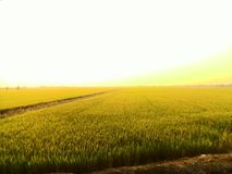 Landscape. Rice field wide royalty free stock image