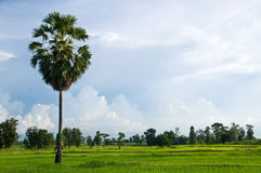 Rice Field With Palm Tree Stock Photography