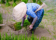 The rice field. Royalty Free Stock Photos