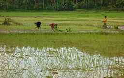 Rice field work Stock Photography