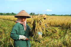 Rice Field Worker Royalty Free Stock Images