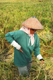 Rice field worker Stock Image
