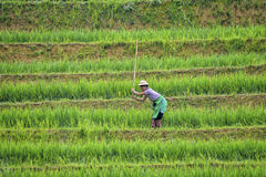 Rice field worker Royalty Free Stock Image