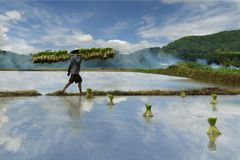 Rice field worker Stock Photography