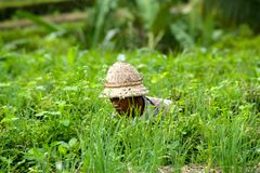 A Rice Field Worker Sits Down Between the Grass Royalty Free Stock Photography