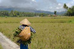 Rice field worker walking at paddy field. With her takings Royalty Free Stock Photo