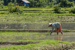 Rice field worker Royalty Free Stock Photos