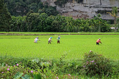 Rice Field Workers in the Harau Valley in West Sumatra, Indonesia Stock Photos