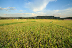 Rice field yellow grass blue sky cloud cloudy landscape backgrou Royalty Free Stock Images