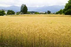 Rice field with yellow plants in spring and mountains in the bac Royalty Free Stock Image