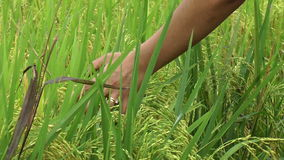 Rice field stock video