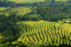 Rice Fields. Green terraced rice fields on Sumatra Indonesia Royalty Free Stock Photos