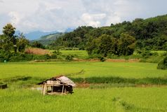 Rice Fields Stock Images