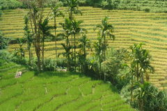 Rice Fields. And palm trees in the region around Ella, Sri Lanka Stock Image