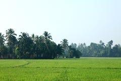 Rice fields. Of Kuttanad, Kerala State, India Royalty Free Stock Photos