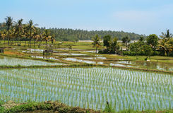 Rice fields. With coconut palms on the coast of the sea,Bali Stock Image