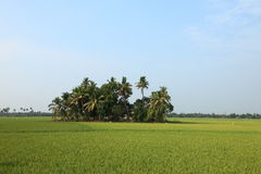 Rice fields. Wast rice fields of Kuttanad in the state of Kerala, India Stock Photography