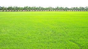Free Rice Fields Royalty Free Stock Photos - 13873898