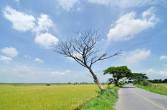 Rice fields. This is Yellow Rice fields beside the road Stock Photography
