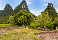 Rice Fields Royalty Free Stock Photography