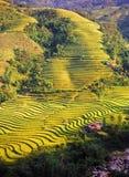 Rice Fields. Rice Terraces in Sapa, Vietnam Royalty Free Stock Photos