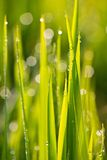 In the rice fields Royalty Free Stock Image