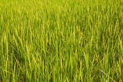 Rice fields. On background green in Thailand Stock Images