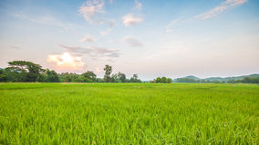 Rice fields Stock Photos