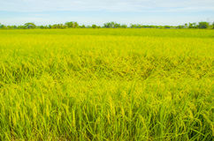 Rice fields. Rice field with seed panicles. Heads are starting to turn as they ripen and mature. Side view with blue sky royalty free stock photography