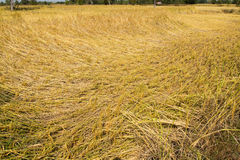 Rice fields. Rice falling on Rice fields picture in Thailand Royalty Free Stock Photography